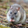 Brown (Norway) rat