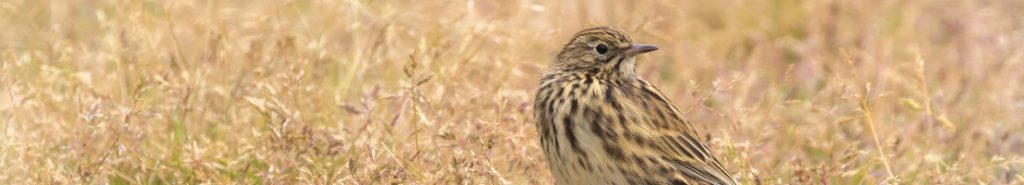 The sound of the Pipits – a message of hope and thanks from Denise Landau