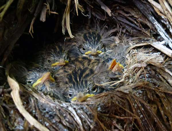 These pipit chicks are alive thanks to you!